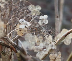 Hydrangea Sargentiana Winter