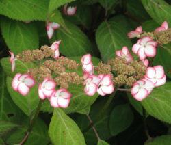 Hydrangea Serrata Kiyosumi Hortensie Weiße Blüten Mit Rosa Umrandung
