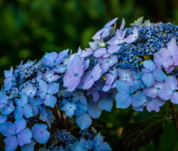 Hydrangea Serratta 'Blue Deckle' Blaue Hortensie