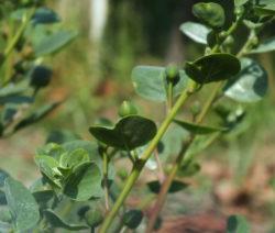 Kapernpflanze Kapernstrauch