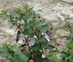Kapernstrauch Mit Samen Und Blüten