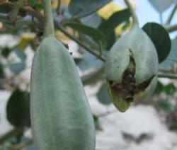 Kapernstrauch Frucht Samen