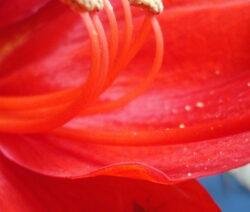Pollen Amaryllis  1