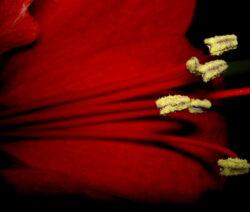 Pollen Amaryllis  2