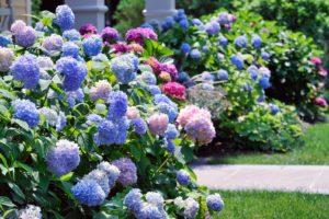 Viele Hortensien Im Garten