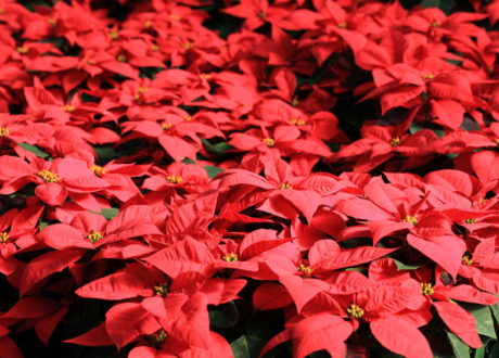 Blüte Weihnachtsstern Rote Blüten