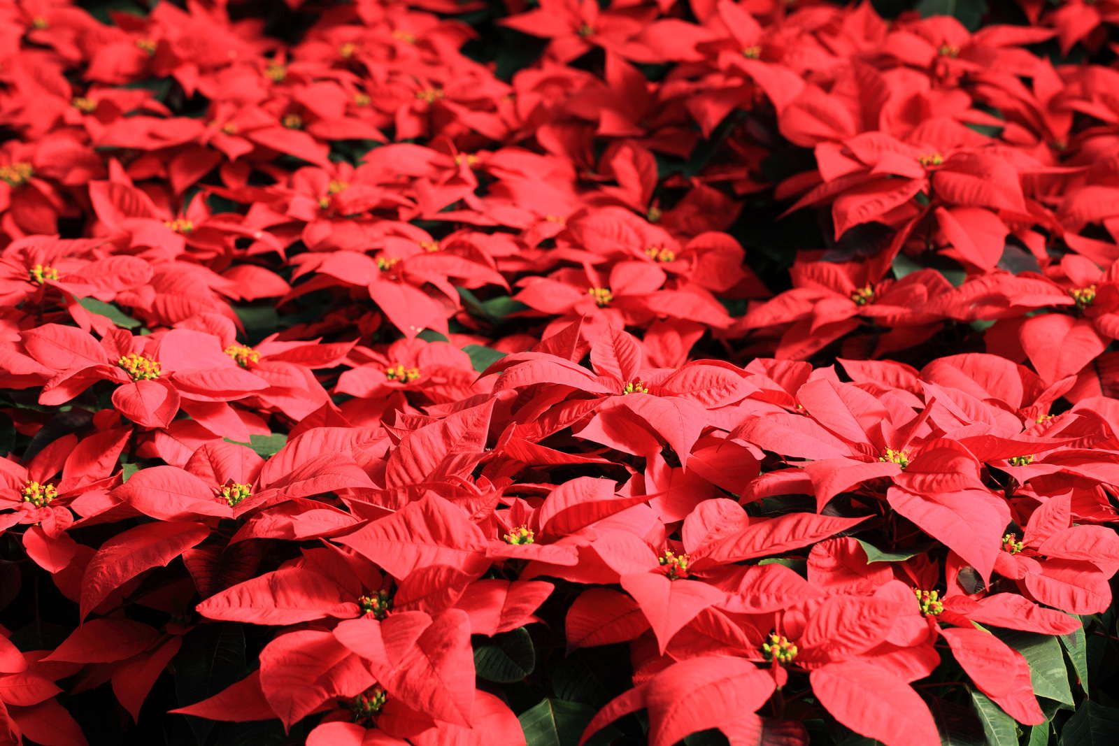 weihnachtsstern richtig pflegen anbauen und vermehren plantura. Black Bedroom Furniture Sets. Home Design Ideas