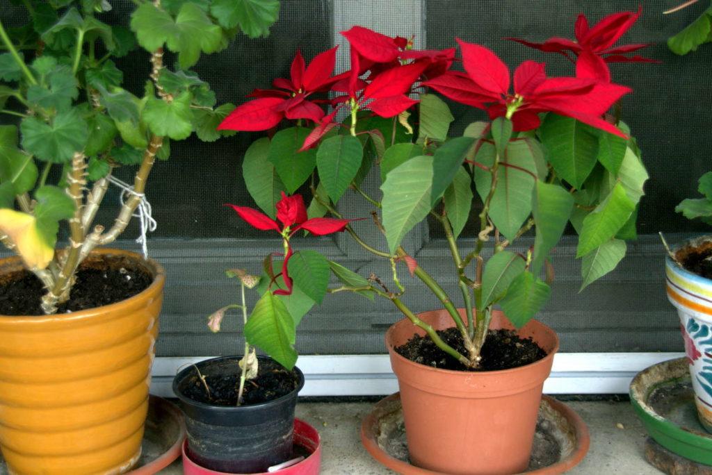 Weihnachtsstern erneute Blüte rot