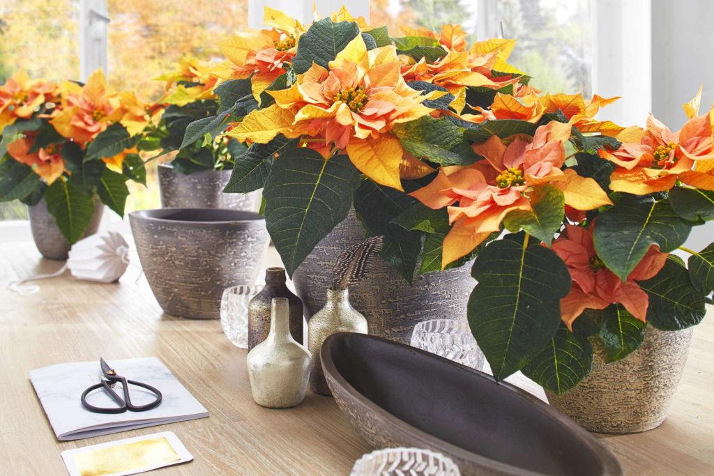 Weihnachtsstern exotische Farben orange Blüte