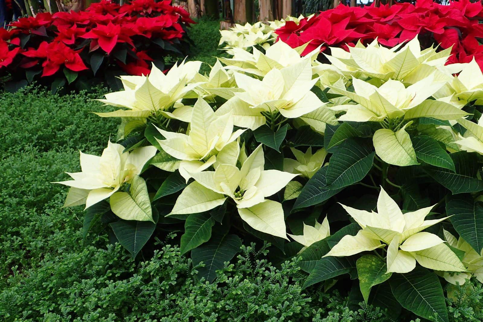 Weihnachtsstern Wieder Zum Bluhen Bringen Anleitung Plantura