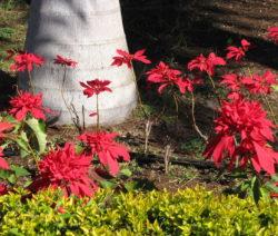 Weihnachtsstern Natürlicher Standort Im Garten