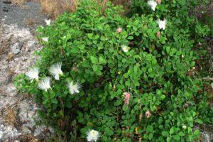Kaoernstrauch Im Garten Mit Weißen Blüten