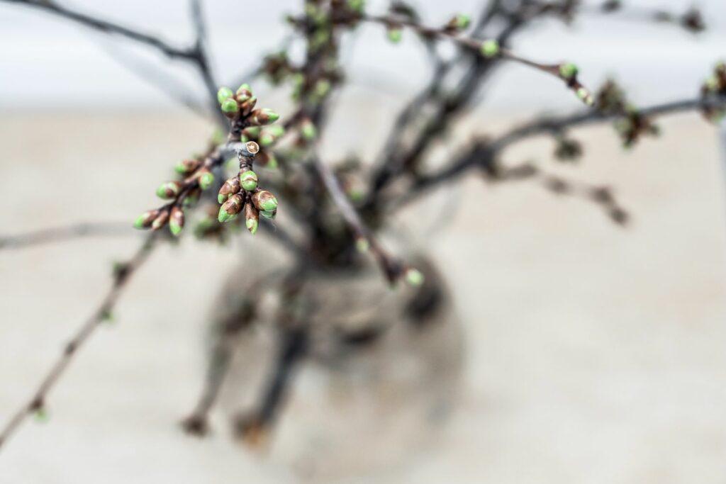 Kirschbaum-Zweig mit Knospen