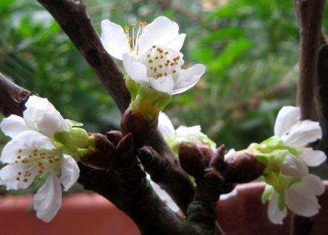 Barbarazweige Obstbaumzweig Blüte