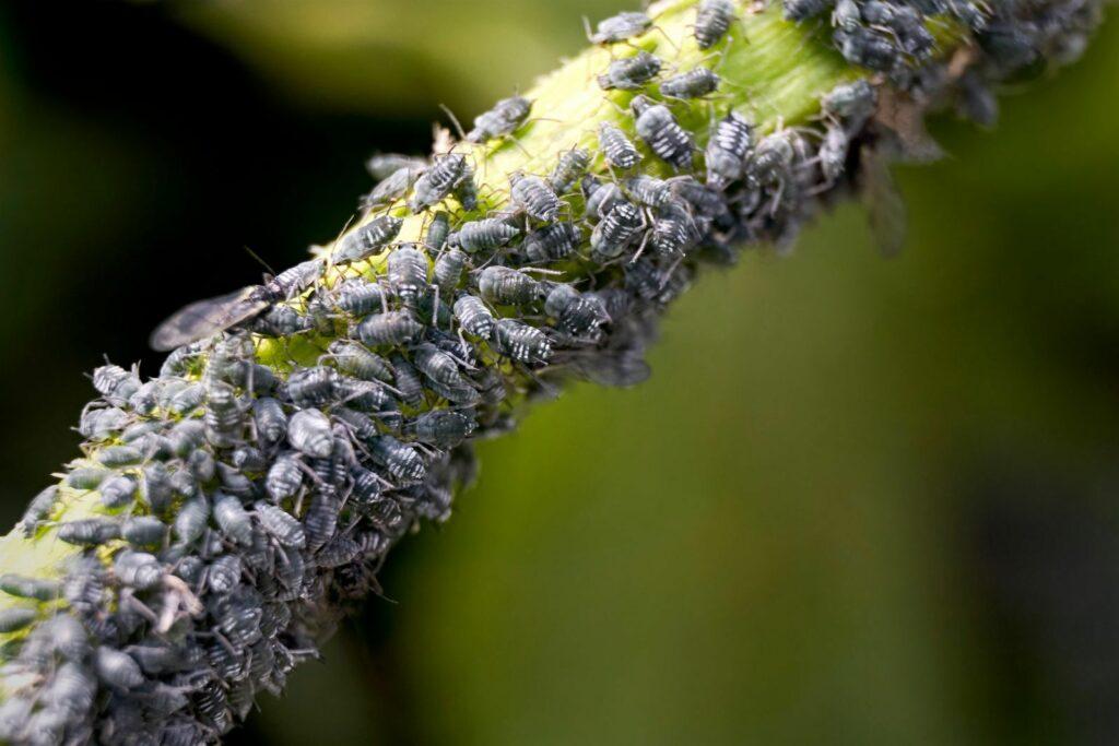 Pflanze mit massivem Blattlausbefall