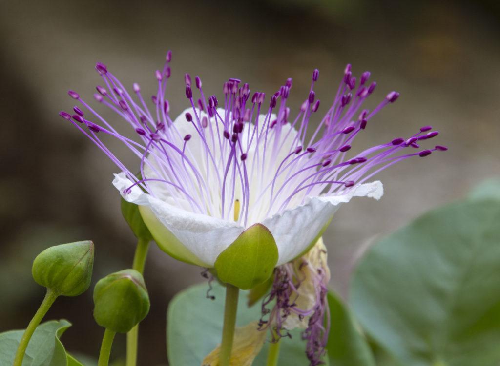 Blüten des Kapernstrauches in Lila