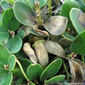Buchsbaumkrankheit: Buchsbaumpilz Vorbeugen Und Bekämpfen