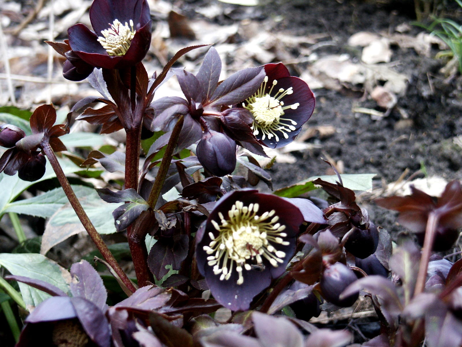 Hortensien Pflanzen Standort Umpflanzen Begleitpflanzen Plantura