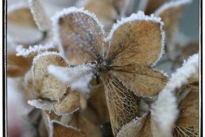 Frostige Scheinblüte Hortensie