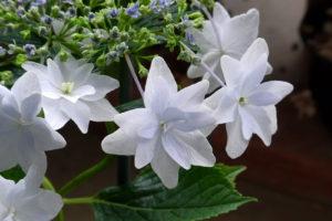 Weiße Gefüllte Scheinblüte Tellerhortensie