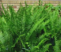 Grüner Farn Im Garten