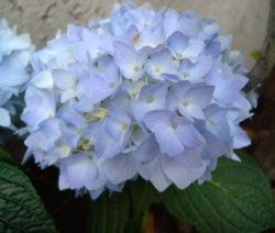 Hellblaue Hortensienblüte