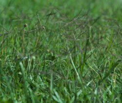 Invasive Art Gewöhnliches Hundszahngras