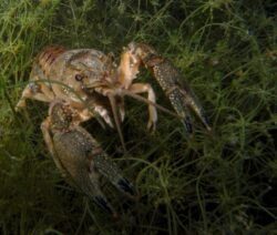 Invasive Art Kamberkrebs Amerikanischer Flusskrebs