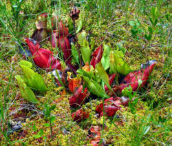 Invasive_Art_Rote_Schlauchpflanze