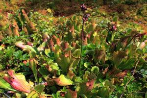 Invasive Art Rote Schlauchpflanze