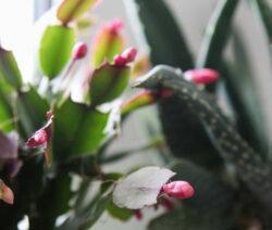 Junge Blütenknospen Weihnachstkaktus