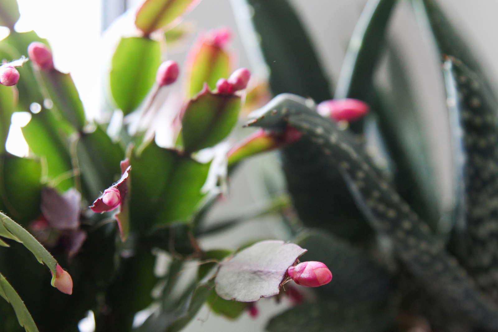 Weihnachtskaktus Richtige Pflege Fur Den Winterbluher Plantura