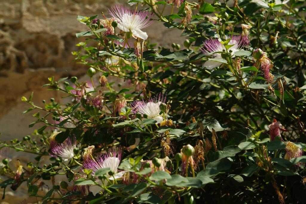 Kapernstrauch mit Blüten