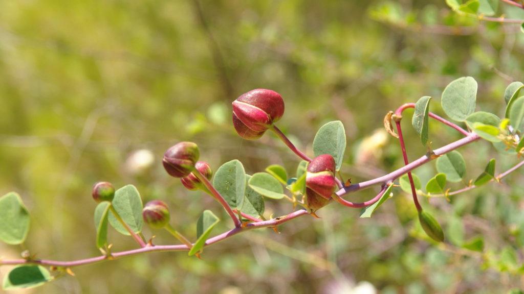 Kapernstrauch-Zweig mit Knospen