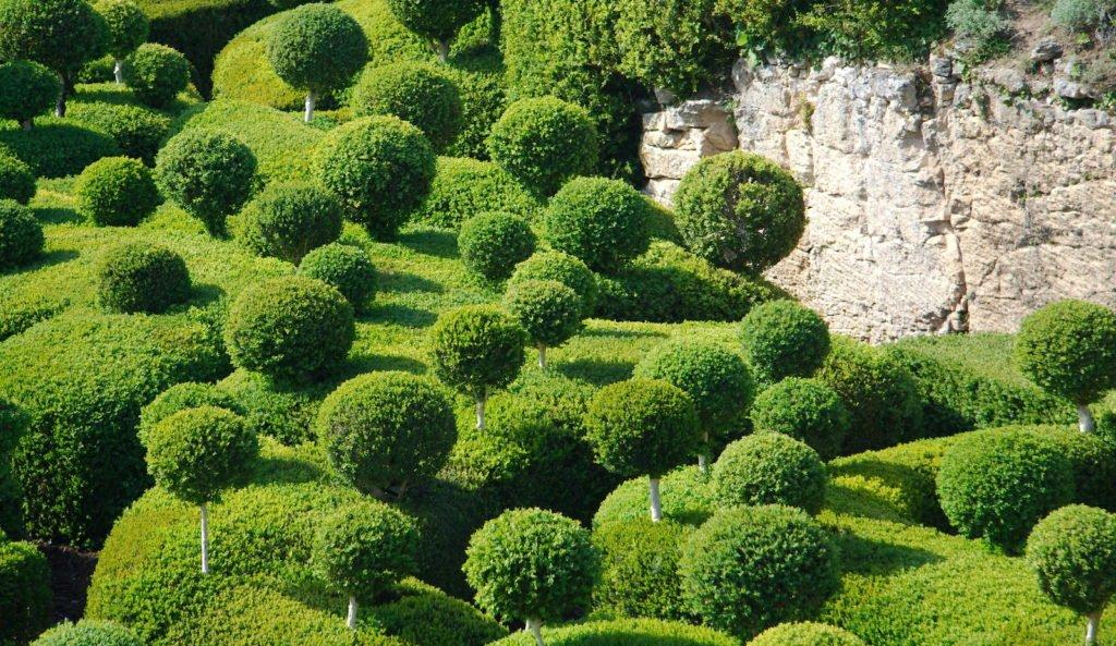 Buchsbaum Kugelstämmchen