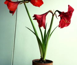 Rote Amaryllis Im Topf