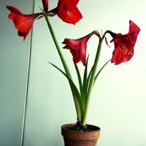 amaryllis pflege gie en und d ngen in der bl tezeit. Black Bedroom Furniture Sets. Home Design Ideas