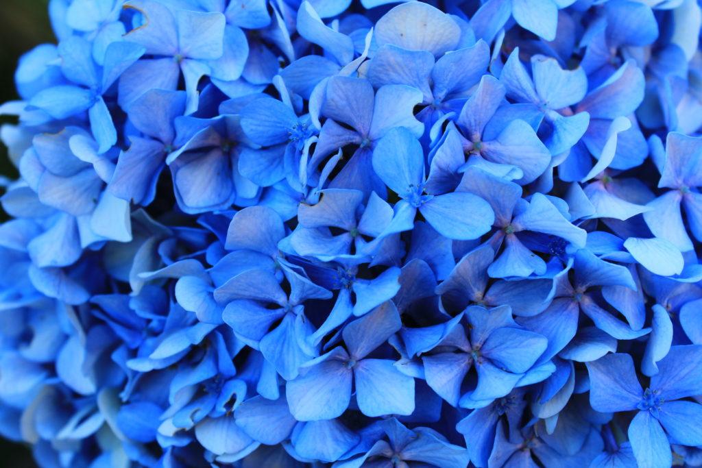 tiefblaue Hortensienblüte