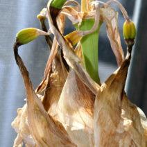 Verblühte Amaryllis