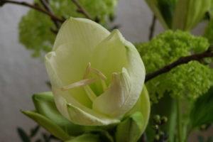 Weiße Amaryllis öffnet Sich