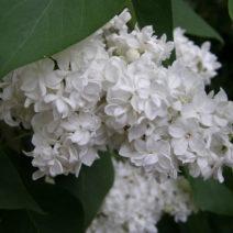 Weiße Fliederblüte