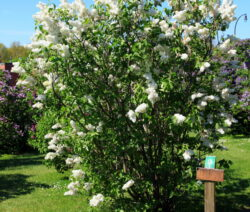 Weißer Fliederbusch