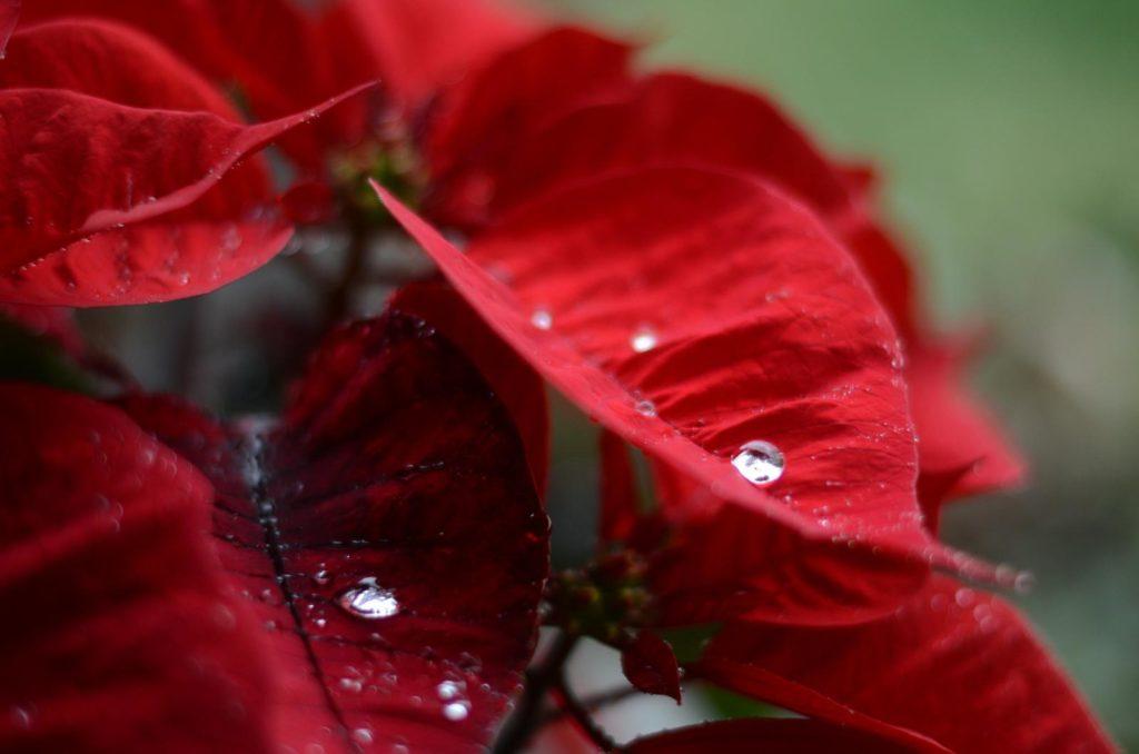 Weihnachtssternblüten mit Wassertropfen darauf