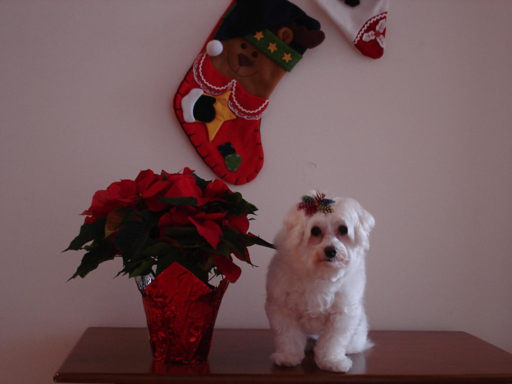 Weihnachtsstern mit Hund auf Tisch
