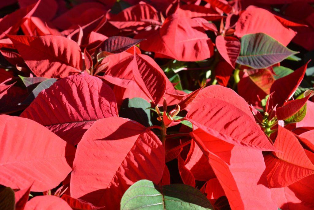 Weihnachtsstern in Rot in der Sonne
