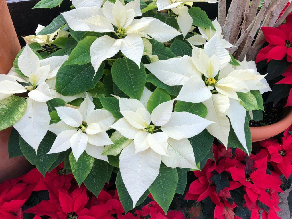 Weihnachtsstern mit weißen Blüten