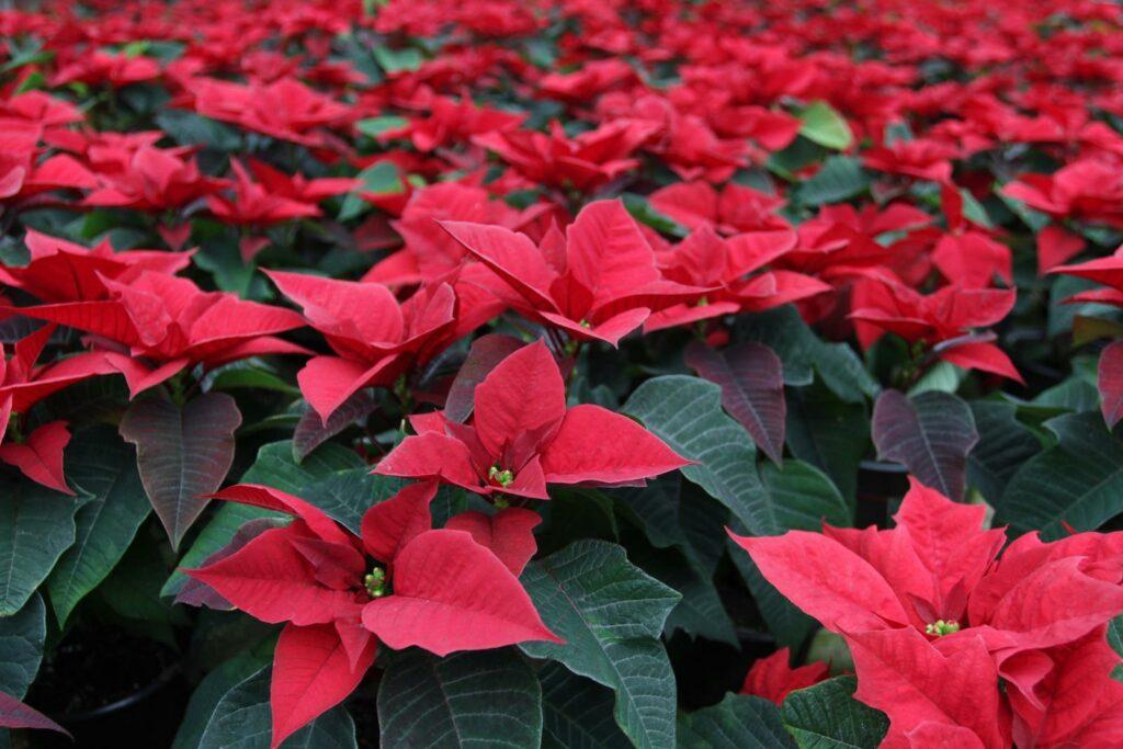 Weihnachtsterne mit roten Blüten