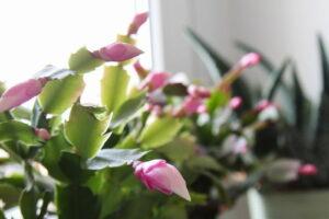 Weiterentwickelte Blütenknospen Des Weihnachtskaktuses Lila