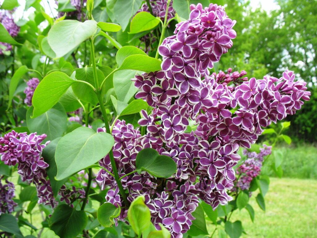 zweifarbige Fliederblüte Blüte lila mit weißer umrandung