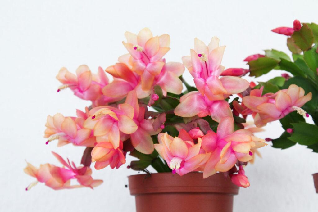rosa helle Blüte Weihnachstkaktus im Topf
